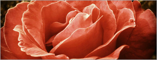 Beauty Tip: Fresh As A Rose. Organic Rose Skincare.